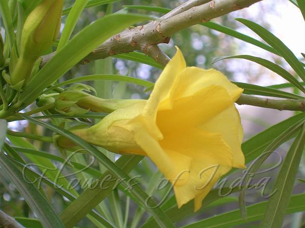 Mexican oleanderpeeli kaner f8 mightylinksfo